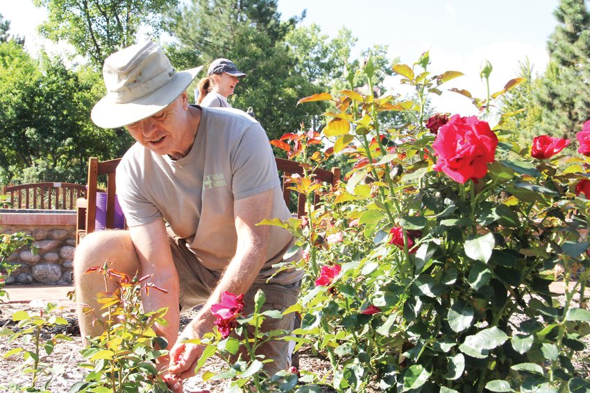 "Dave Ingram, 70, kneels down to engage in ""dead heading,"" the process of removing old flowers to promote new growth. Ingram was on hand Sept. 11 at Hudson Gardens for its Meet the Rose Gardener event."