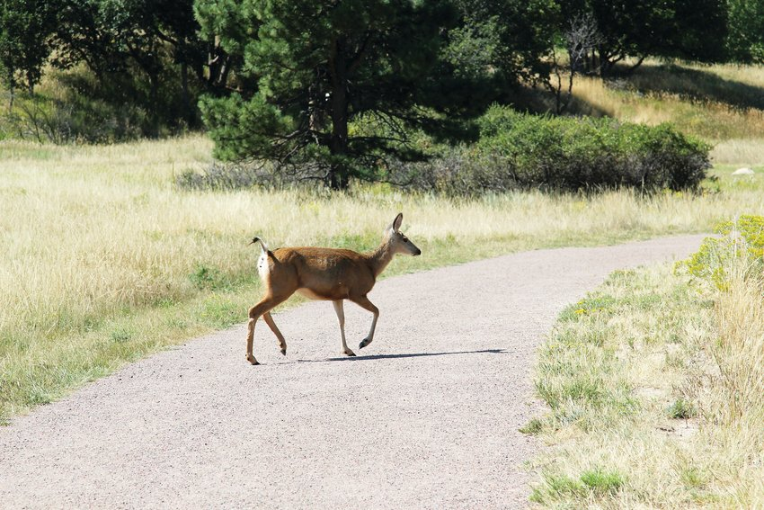A deer crosses the trail at Bingham Lake in The Pinery.