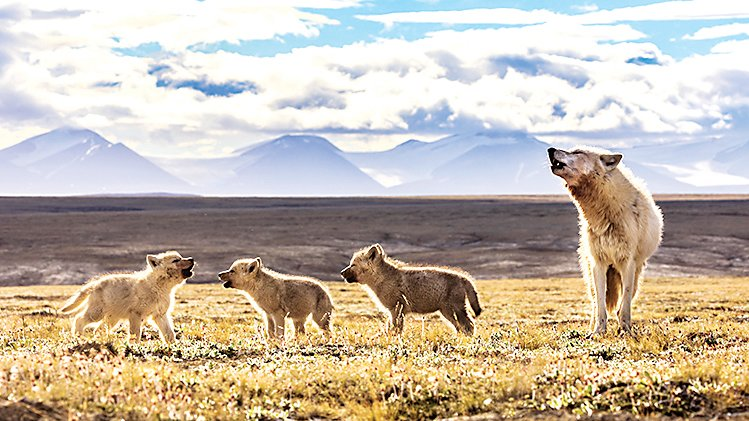 "Biologist/photographer Ronan Donovan will speak in ""National Geographic Live"" Series at Lone Tree Arts Center on Oct. 13. Howling lessons shown here!"