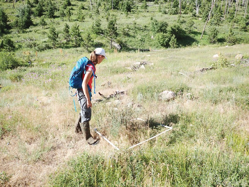 Vivian Weigel uses a white one-meter square  to count the number of knapweed plants to estimate the density of plants per square meter.
