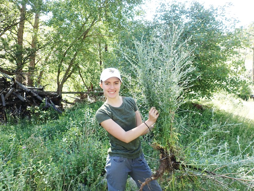 One of the knapweeds pulled by Vivian Weigel during her field research. For the experiment she said she pulled 240 knapweeds and counted the number of weevil larvae in the root.