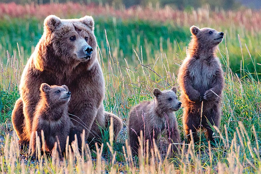 """High Alert,"" Carl Paulson's image of a mama bear and cubs, shows them as they sense a male bear nearby — a clear and present danger to the cubs. Paulson and Julia Grundmeier exhibit their photographs and paintings at Bemis Library."