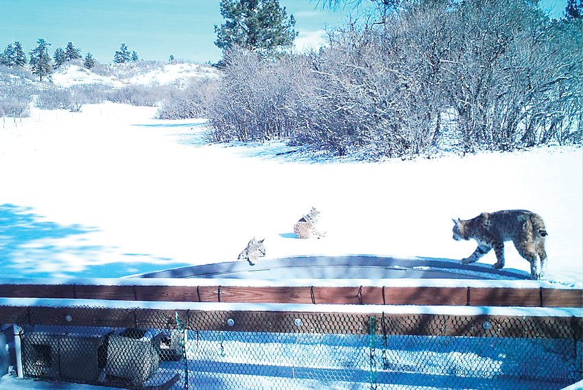 Three bobcats are captured by a water source in the Highlands Ranch Backcountry after a snow in early February.