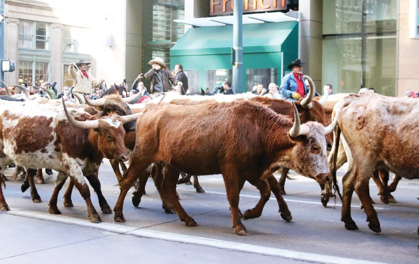 The iconic Longhorn cattle drive makes its way along the parade route during the Stock Show Kick-off Parade in downtown Denver on Jan. 9.