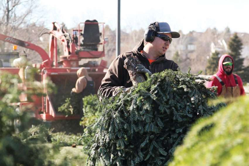 Douglas County recycles roughly 4,300 Christmas trees annually.