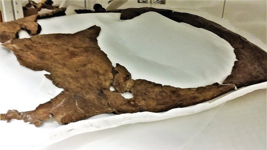 The delicate neck frill of the 66 million year old fossilized Torosaurus dug from the Thornton soil in 2017 has been cleaned and is being studied at the Denver Museum of Nature and Science.