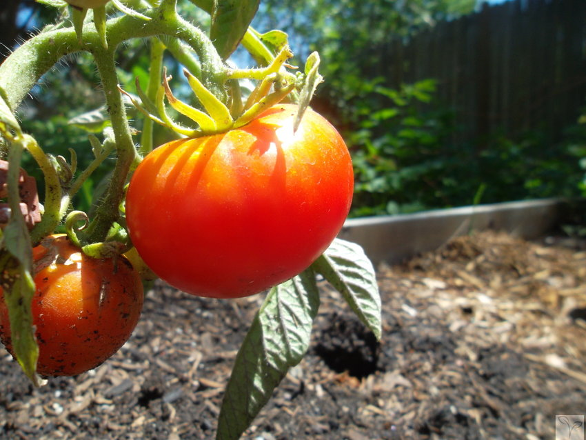 """Urban homesteaders"" make the most of small plots of city soil to grow food. Michele Hanley, the owner of Mile High Urban Farming, said her tomato plants are a good return on investment."