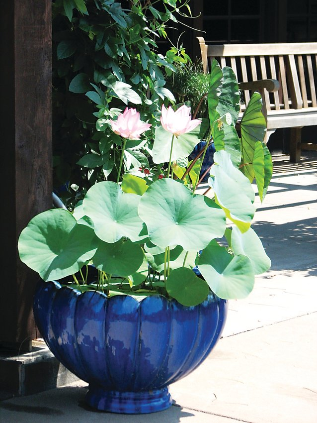 Lotus in water bowl.