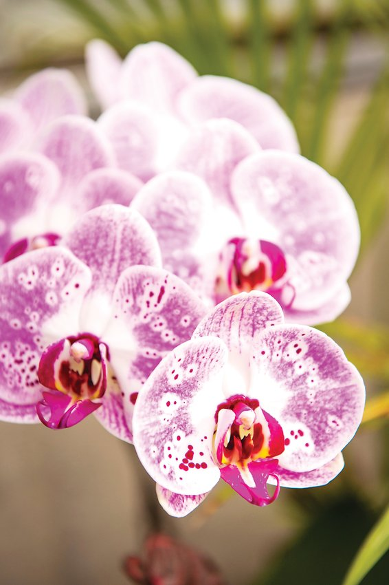 Orchids as a houseplant do well in medium light — three to six hours of sun a day.