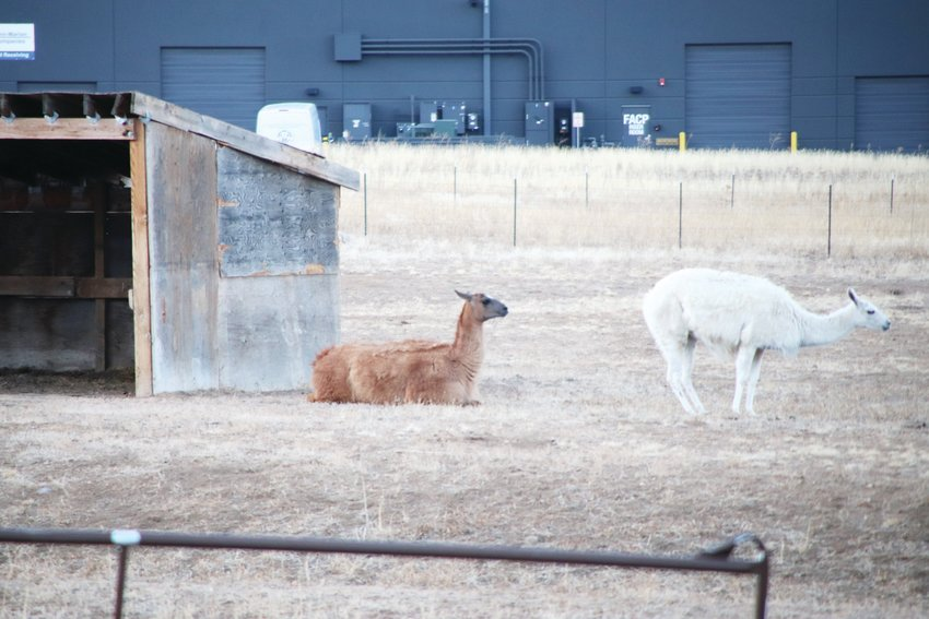 Two animals that seem to be llamas or alpacas lie on an undeveloped property on Nov. 14 in an area full of industrial buildings and business parks. One of the area's many large industrial buildings sits in the background.