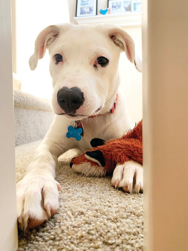 """Aspen"" was adopted in April from the Foothills Animal Shelter in Jefferson County by one of the newspaper's employees. He's taken to his new home by showing a fondness for face licking and shoe chewing."