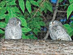 """Whatcha Got There?"" is the title of a photo of two screech owls by area photographer Carl Paulson, currently exhibiting at Vita Littleton."