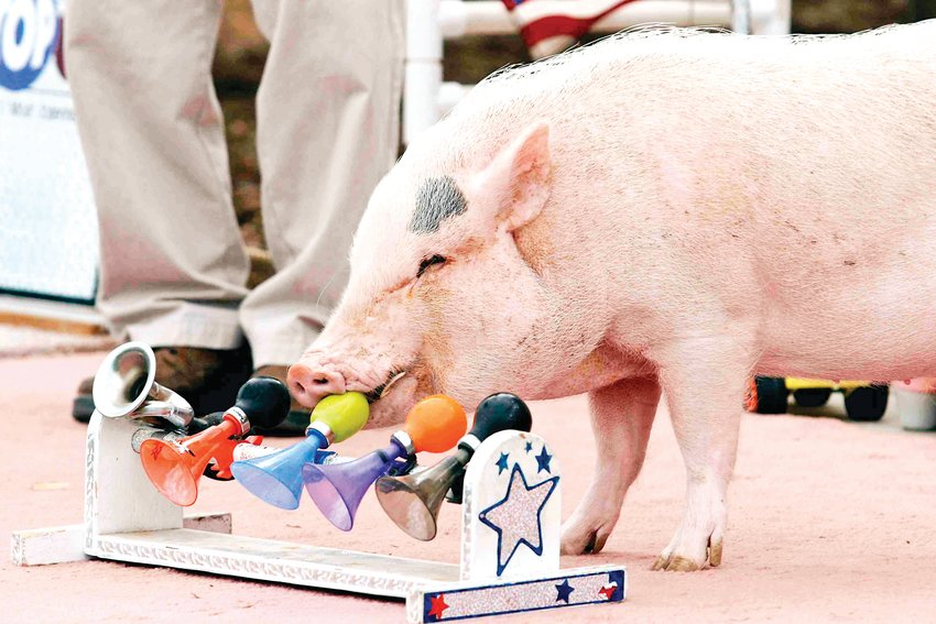 "Two rescue pigs will perform in the PACE Center's show Family Discovery Series: ""Top Hogs,"" including stunts and impressions."