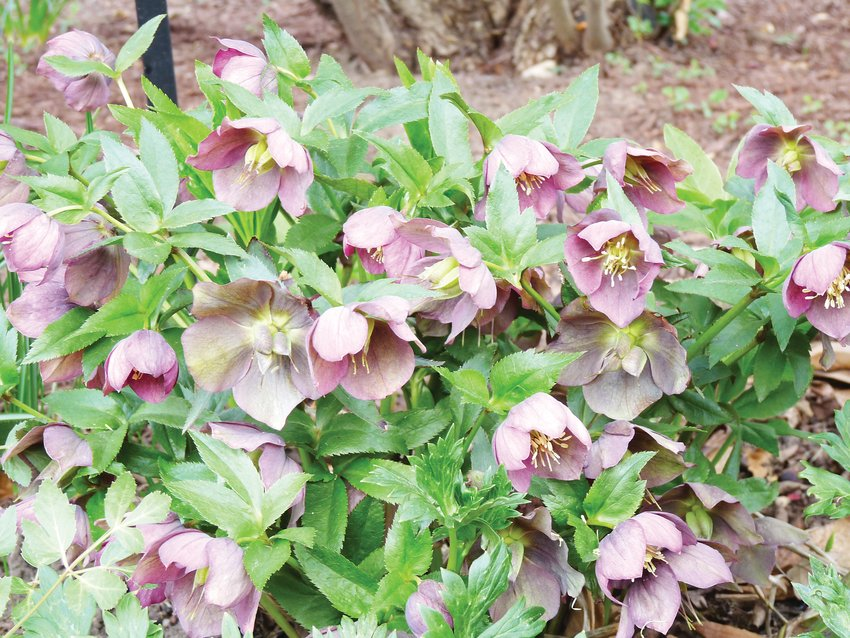 Helleborus is a perennial that performs well in areas of dry shade.