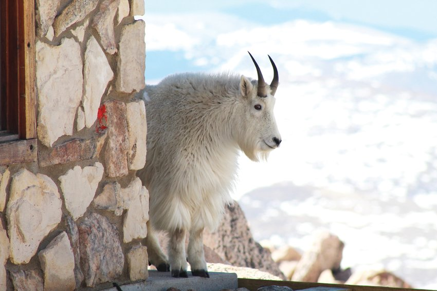 A mountain goat peeks around the corner of the restroom building at the Mount Evans summit Friday morning. Several photographers and onlookers were excited to see alpine wildlife, as the highway to the summit has been closed to vehicle traffic since September 2019.