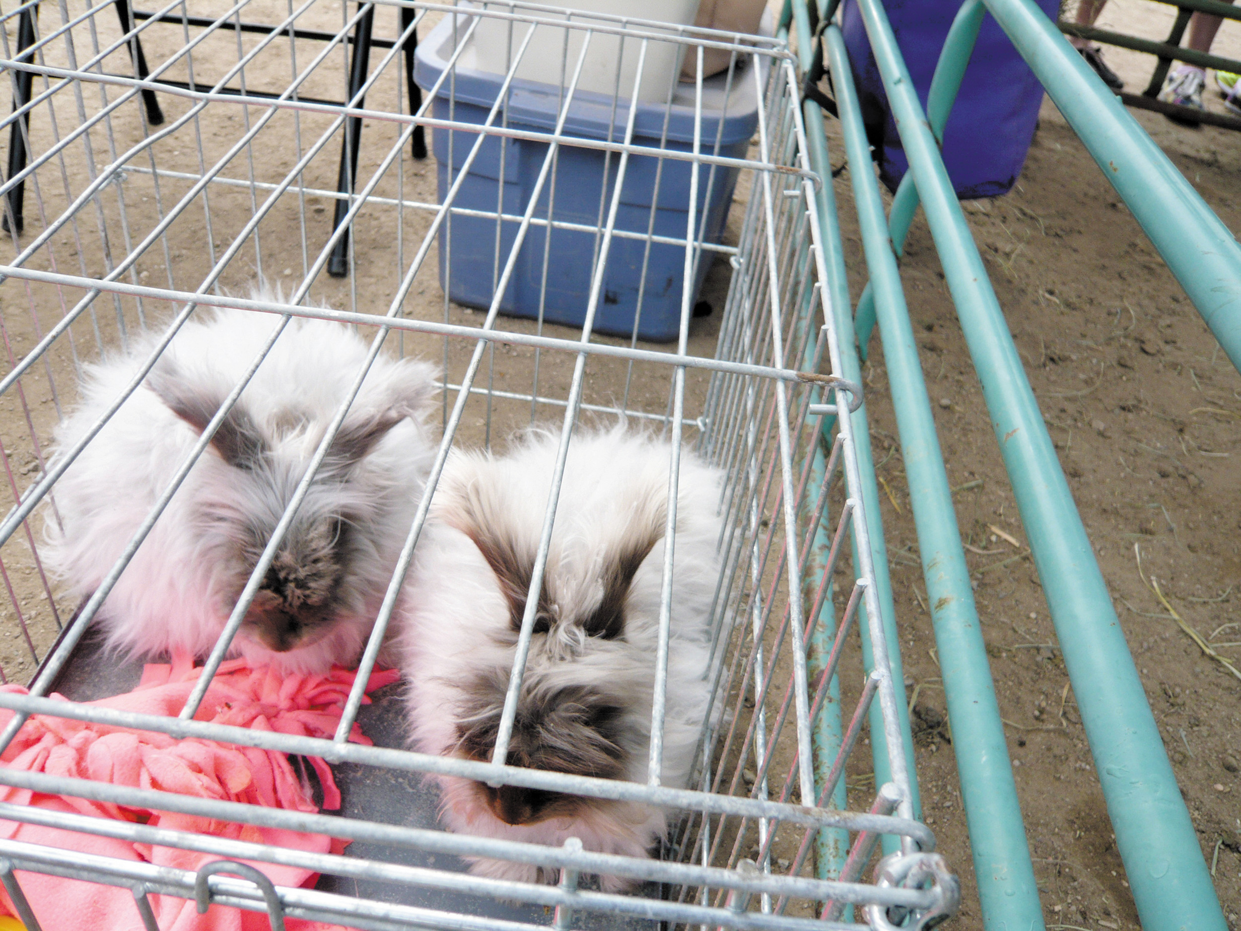 Angora Rabbits from LaZy B Acres in Bennett were guest attractions at the Littleton Museum's Fiber Festival on April 12.