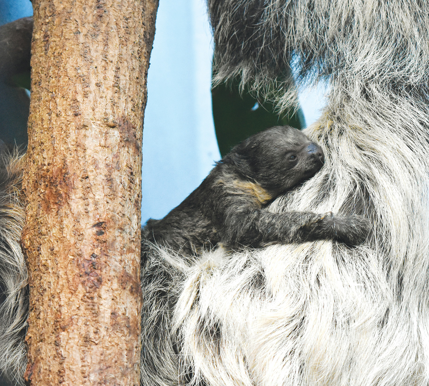 Zoo Celebrates Birth Of Linne's Two-toed Sloth