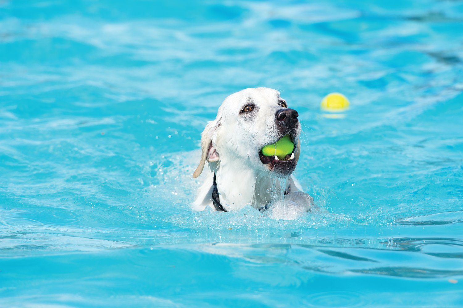 """Kolt"", a 9 year-old Labrador Retriever, brings a tennis ball back to his owner, during Thornton's 12th Annual Paws For A Dip at Thornton City Pool Aug. 17."