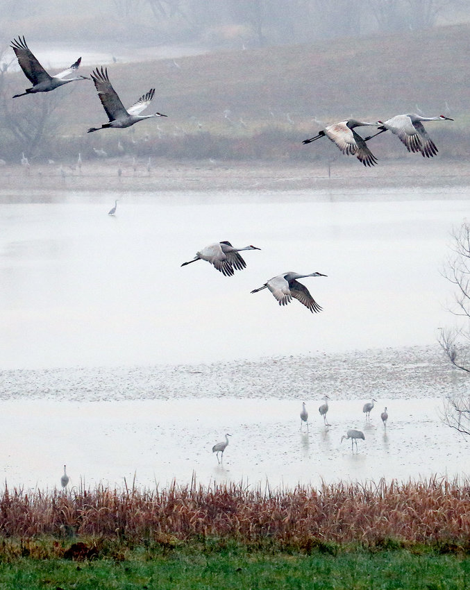 SOME CRANES TAKE FLIGHT over an inlet of the Hiwassee River, with several cranes standing in the distance.