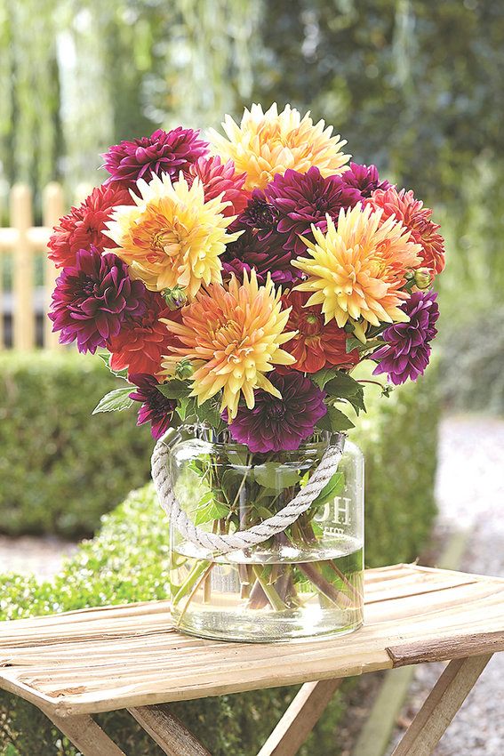 The Sugar Plum Mix of dahlias offers hues of honey gold, burnt orange and violet-mauve, providing a colorful, contemporary blend of dahlias in late summer.