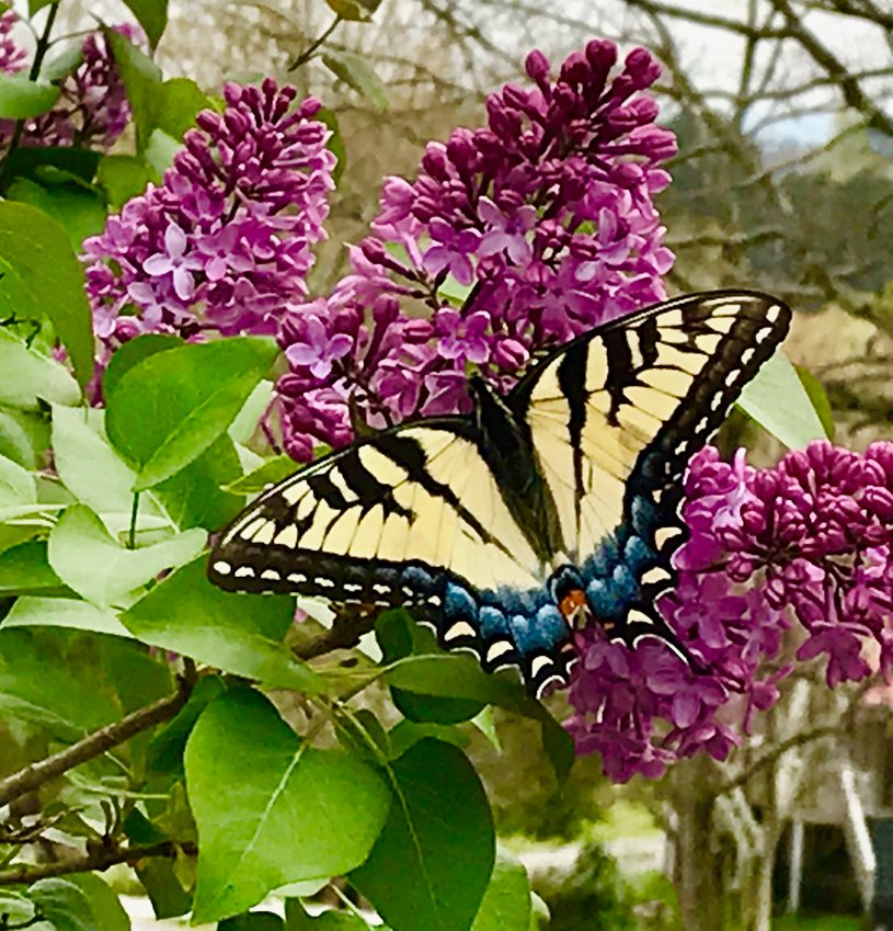 """CHARLIE MAE SCOGGINS shared this """"butterfly on my lilac — beautiful and fragrant."""""""