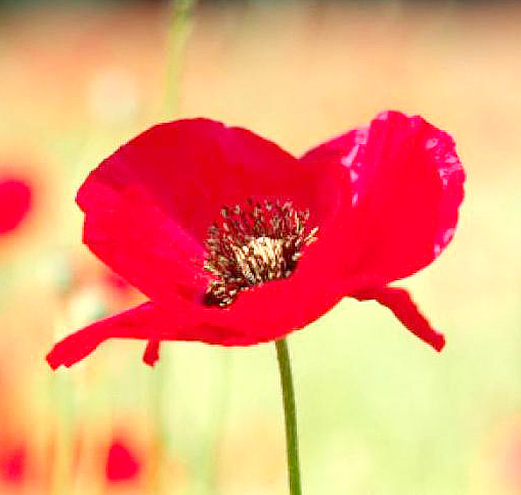 POPPIES will be distributed this weekend by the American Legion Auxiliary Unit 81 as part of the Memorial Day observance. They will be available Saturday at Tractor Supply and at Monday's Memorial Day ceremonies.