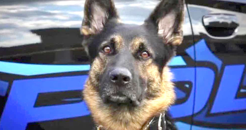 THREE K-9 OFFICERS with the Bradley County Sheriff's Office have been taken out of service pending a review of their training and certifications. The K-9 officer pictured here is not affiliated with BCSO.