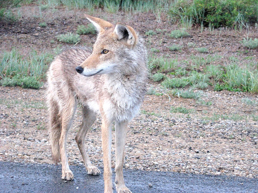 COYOTES, such as the one in this photo furnished by the Tennessee Wildlife Resources Agency, have been growing in population in Tennessee since the 1970s. According to recent reports, more and more are being sighted in Cleveland and Bradley County. TWRA has authorized the use of this photograph by the Cleveland Daily Banner.