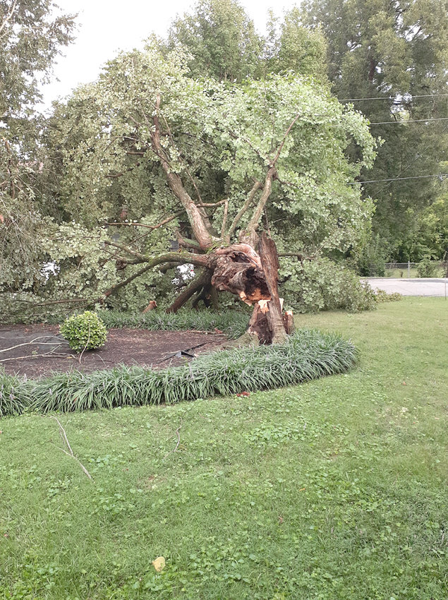 LATE-AFTERNOON STORMS that blew through parts of Cleveland and Bradley County on Wednesday took down this 50-year-old tree at the Church Street home of Rodney and Angela McPherson. Apparent straight-line winds are blamed for several reports of tree and property damage in the community.