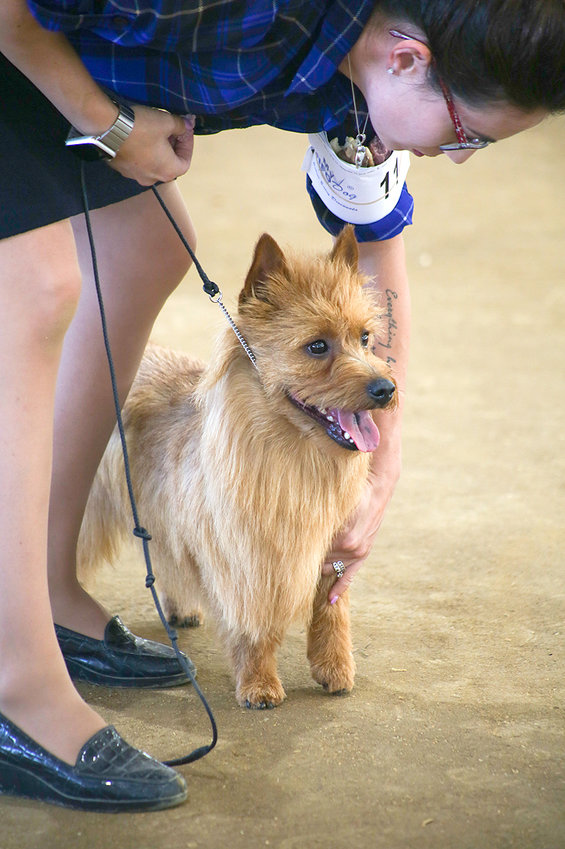 HANDLER JACQUELINE JOHNSON sets Bandit's feet during competition on Friday at the AKC Conformation Shows at the Tri-State Exhibition Center. Bandit is an Australian Terrier.