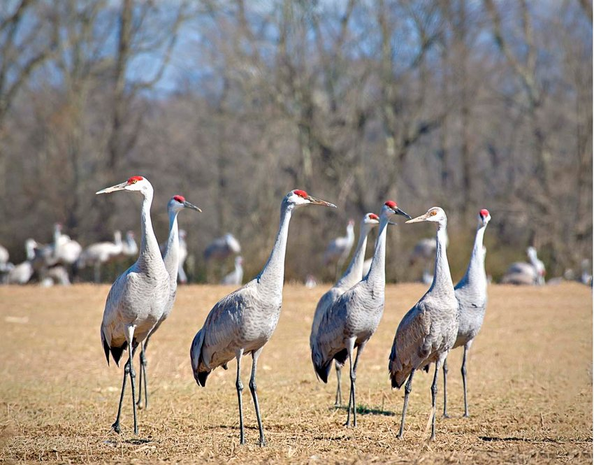 THIS PHOTO provided by the Tennessee Wildlife Resources Agency shows several sandhill cranes. Thousands more of the birds are expected to be visible during the Tennessee Sandhill Crane Festival Jan. 18 and 19.