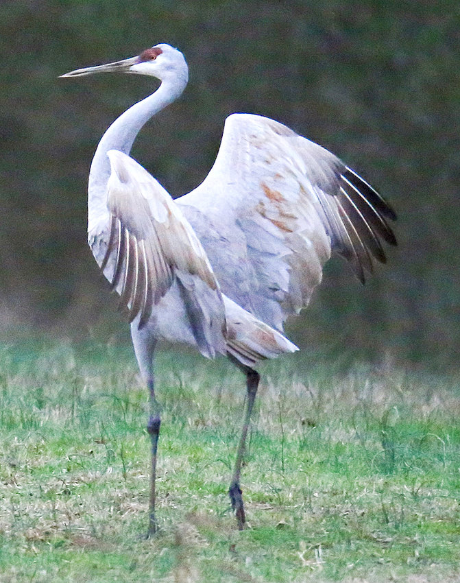 A CRANE STARES into the camera and strikes a pose during the festival on Saturday.