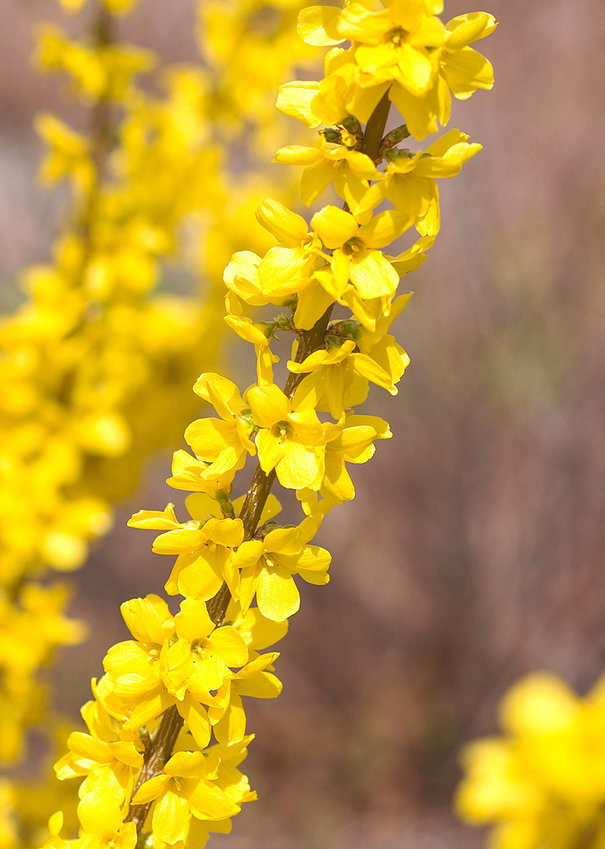 This Show Off® forsythia signals early spring for many with its showy, bright yellow flowers and slight fragrance.