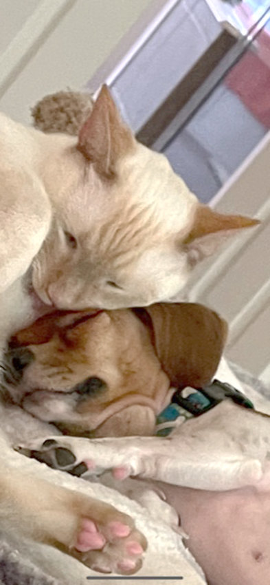 This is Dobby, a flame-point Siamese, with his BFF and constant playmate Taffy, a Chiweenie. Both were rescues. — Sue Walsh, Kingwood, Texas