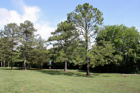 SEVERAL PINE TREES in the northwest area of Tinsley Park are marked for removal for the upcoming dog park. Banner photo, HOWARD PIERCE