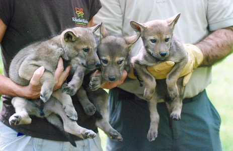 Reflection Riding has three new red wolf pups. The pups were born April 15.