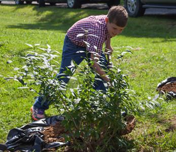 ELI LANE smiles as he helps to plant the forsythia bushes at Wednesday's historic event.