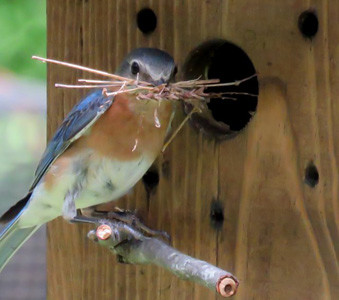 An Eastern bluebird nesting for a second time this season.
