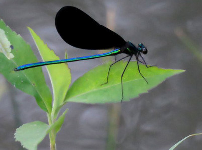 an ebony jewelwing