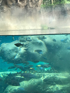 The third photo is a sleeping hippo. Hippos stay under up to seven minutes before they have to resurface. Their bodies will automatically surface for air without the hippo waking.