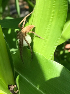 She said the mother spider, was in the garden nestled in the corn.