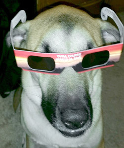 ACE, a mixed breed canine, tries on some glasses that people planning to view the total solar eclipse are instructed to wear. Pets should be fine during the eclipse, say local veterinarians, but they add that animals may react as if nighttime is approaching early.