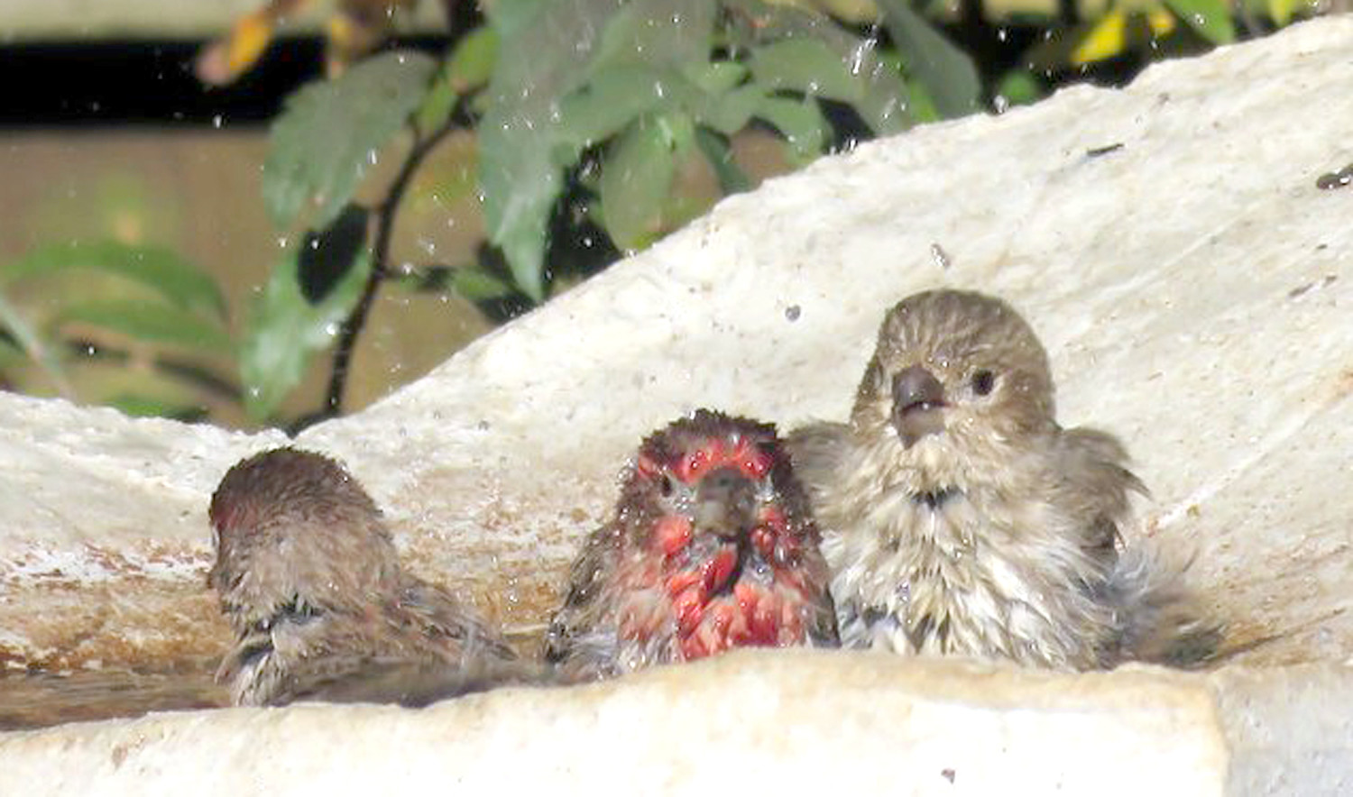 Three little finches are taking a bath.