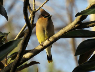 "A cedar waxwing in a magnolia tree. ""This bird looks like he is made of silk,"" she said."