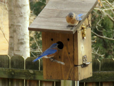 Two eastern bluebirds checking out a nesting box.