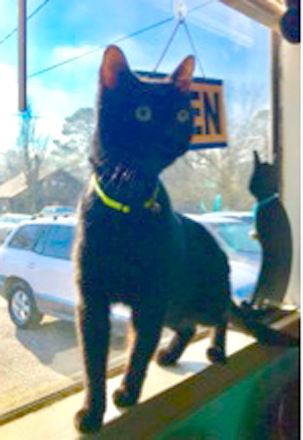 "Captain Al came to the SPCA of Bradley County Jan. 13th as an owner surrender. Captain was born May 21, 2016, and weighs about 11 lbs. Captain Al is a beautiful black cat, with bright green eyes and a slightly fluffy tail!  He is quite adventurous and loves to play. Though he can be a bit bashful at first, Captain Al is very loving and affectionate once he gets to know you. Captain Al is originally from South Carolina and insisted on saying ""Go, Gamecocks! "" 