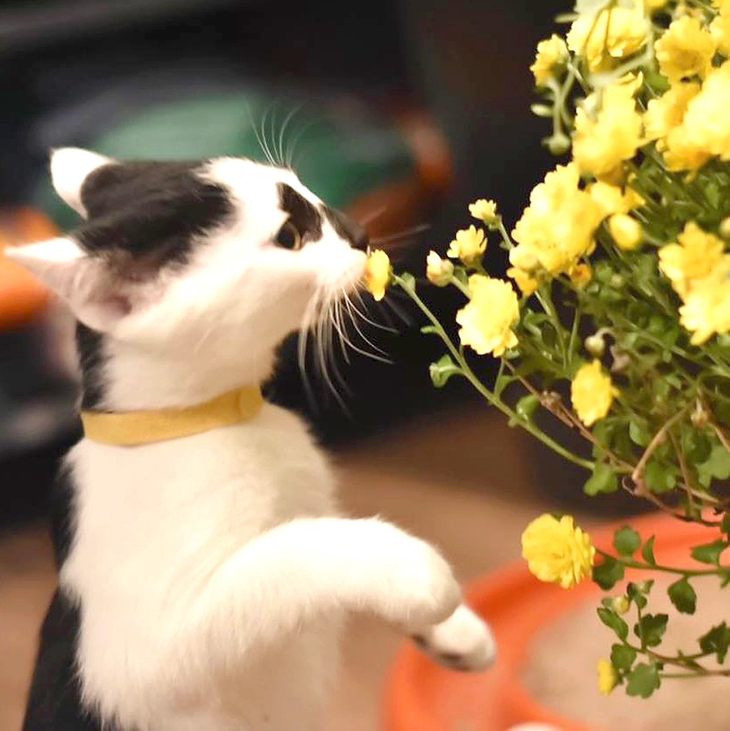 TIM McCLAW, a 2.5-month-old domestic shorthair mix, takes time to stop and smell the flowers. He is one of nearly 75 kittens available for adoption through the SPCA of Bradley County.