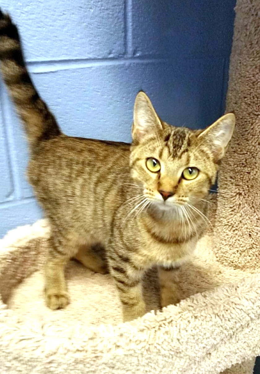 TALIA is a beautiful and playful female cat, 1-2 years old, looking for her forever home. Come by to meet her at Cleveland Animal Control, 360 Hill St. She may be a perfect fit for your home. Baxter is a handsome 11-week-old male hound mix puppy. He's looking for his active forever home. Come to meet him and all the highly adoptable animals at Cleveland Animal Control. Shelter hours are Monday through Friday, 11 a.m. to 6 p.m., and Saturdays, 10 a.m. to noon.