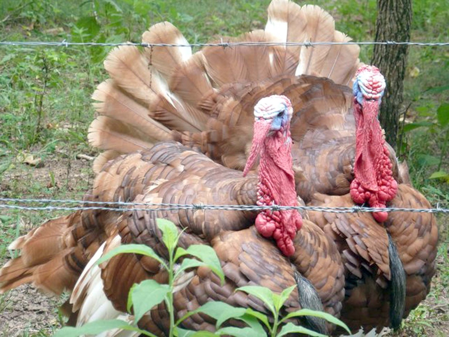 TWO TURKEYS observed at Fall Creek Falls don't seem to be in danger of ending up on a Thanksgiving table. Photo courtesy of Jennifer Hardison.