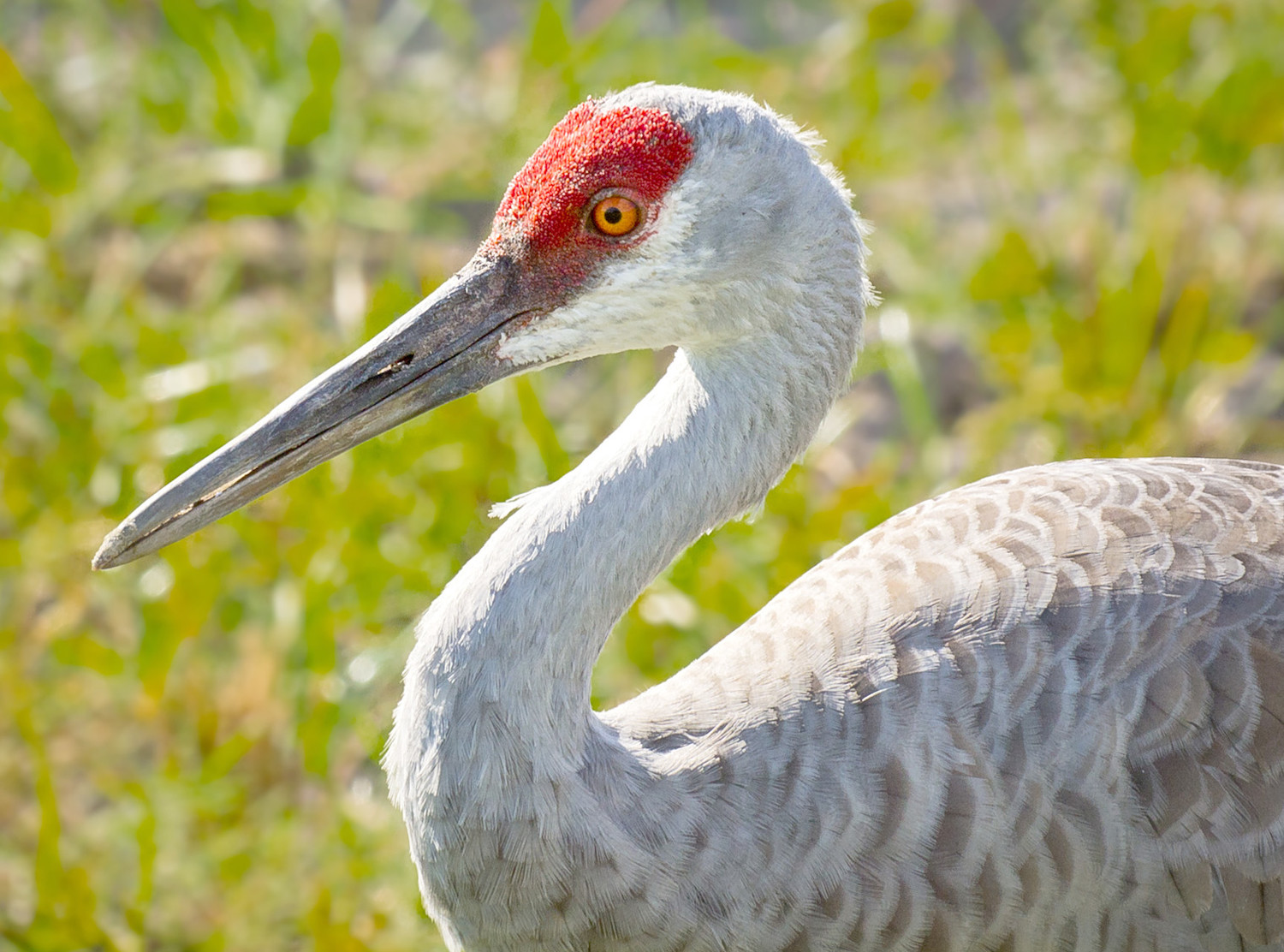 Sandhill cranes can be viewed each winter at the Hiwassee Wildlife Refuge, near Birchwood.
